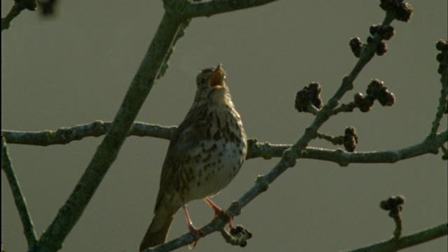 song thrush (turdus philomelos) sings with steaming breath during dawn chorus, forest of dean, uk - songbird stock videos & royalty-free footage