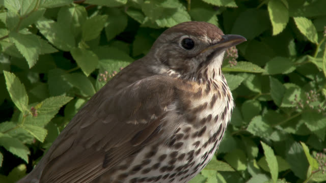 song thrush standing on a wall - johnfscott stock videos & royalty-free footage