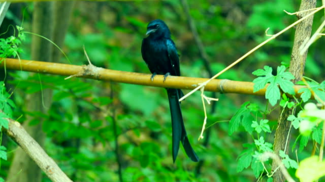 songbird on bamboo - forked tailed drongo stock videos & royalty-free footage