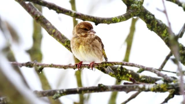 Singvögel auf Baum im winter