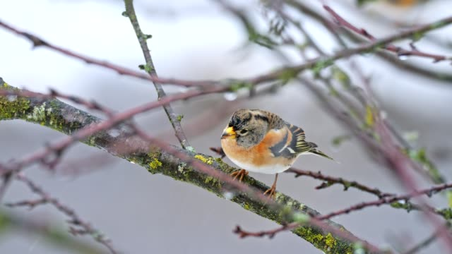 songbirds on tree in winter - becco video stock e b–roll