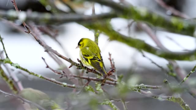 songbirds on tree in winter - songbird stock videos & royalty-free footage