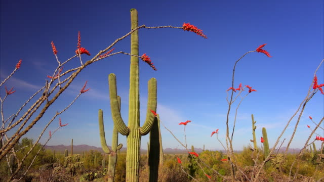 Sonoran Desert Landscape in Saguaro National Park