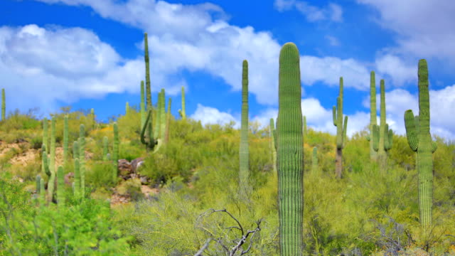 sonoran desert time lapse - old man cactus stock videos and b-roll footage