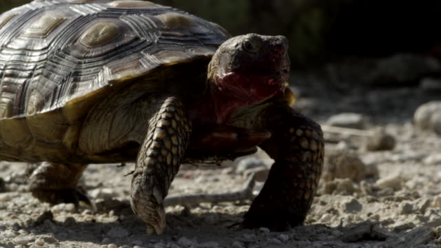 a sonoran desert tortoise eating and walking - tortoise shell stock videos & royalty-free footage