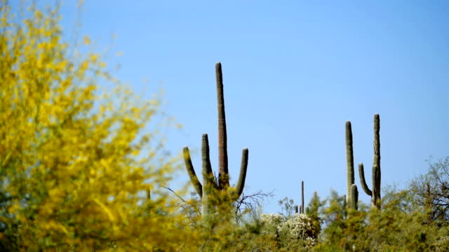 sonoran desert - old man cactus stock videos and b-roll footage