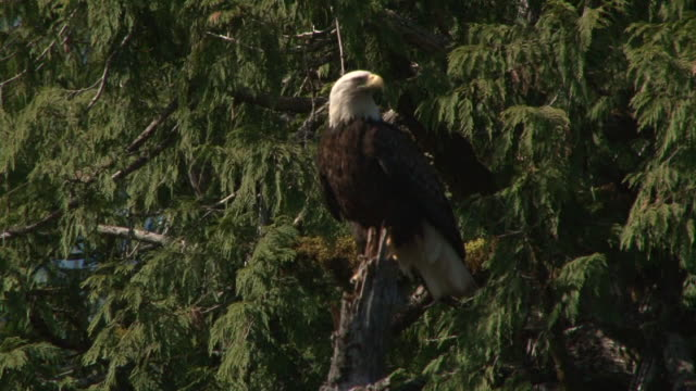 soon eagle - perching stock videos & royalty-free footage