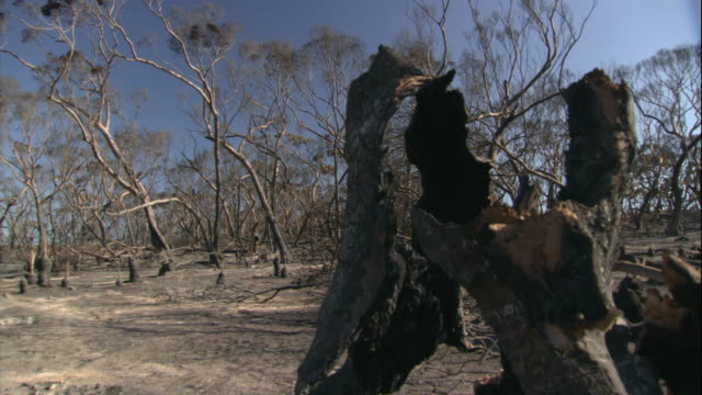 soot covers the ground and the charred trunks of trees after the eyre peninsula bushfire. - soot stock videos & royalty-free footage