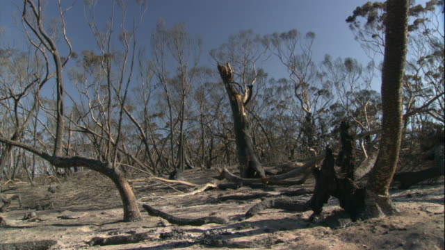 soot covers the trunks of charred trees following the eyre peninsula bushfire. - soot stock videos & royalty-free footage