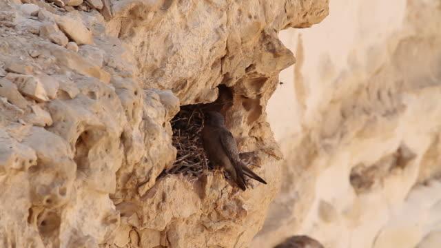 sooty falcon. falco concolor. - habicht stock-videos und b-roll-filmmaterial