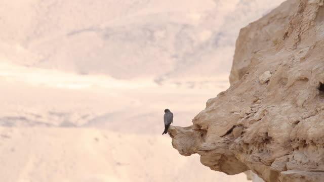 sooty falcon (falco concolor) - falcon bird stock videos & royalty-free footage