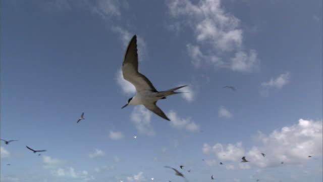 Sooty tern (Sterna fuscata) flies over nesting colony, Hawaii