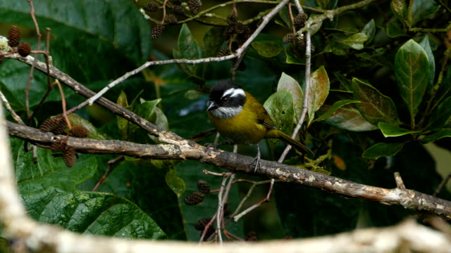 Sooty-capped bush tanager, Chlorospingus pileatus