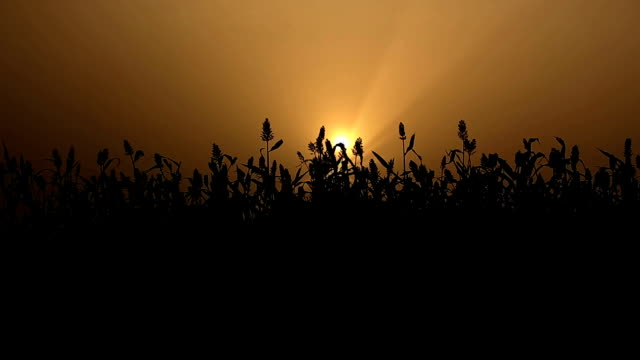 sorghum crop during sunset time - sorghum stock videos and b-roll footage