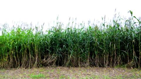 sorghum-pflanzen schwanken durch wind im freien in der natur - sorghum stock-videos und b-roll-filmmaterial