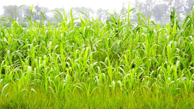 sorghum gröda växt vajande genom vinden utomhus i naturen - durra bildbanksvideor och videomaterial från bakom kulisserna