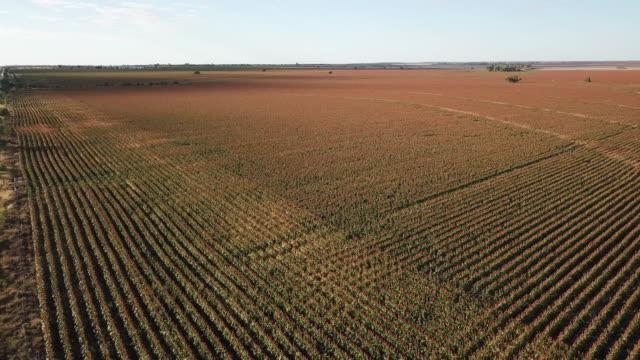 sorghum crop - sorghum stock videos & royalty-free footage