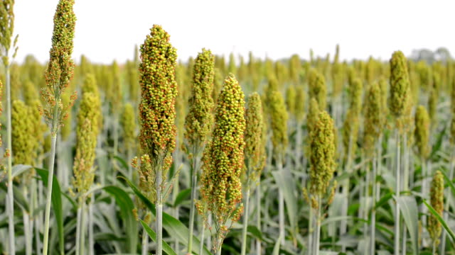 sorghum field - sorghum stock videos & royalty-free footage