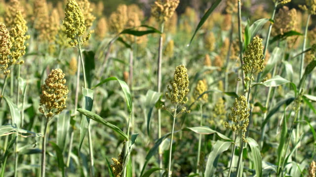 sorghum or millet an important cereal crop - sorghum stock videos & royalty-free footage
