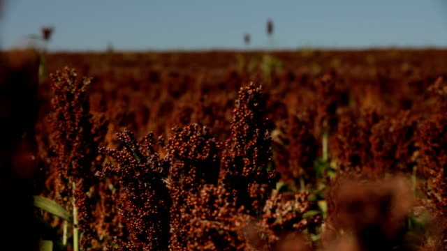 sorghum planting. - sorghum stock videos and b-roll footage