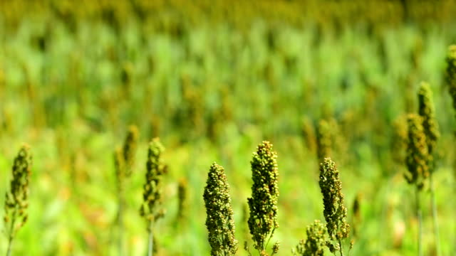 sorghum sedheads moving in breeze - gulf coast states stock videos & royalty-free footage