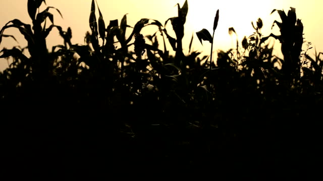 sorghum silhouette - sorghum stock videos and b-roll footage