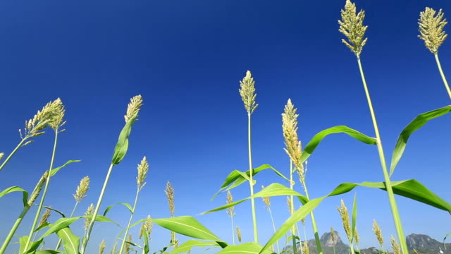 sorghum - sorghum stock videos and b-roll footage