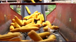 Sorting and Processing of Corn