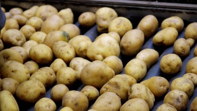 vidéos et rushes de tri des pommes de terre sur la ligne d'emballage dans l'entrepôt - pomme de terre