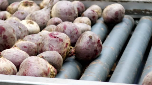 sorting red beet on packing line in wholesale - beet stock videos & royalty-free footage