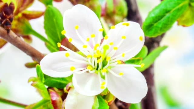 Soru cherry flower blooming in a time lapse