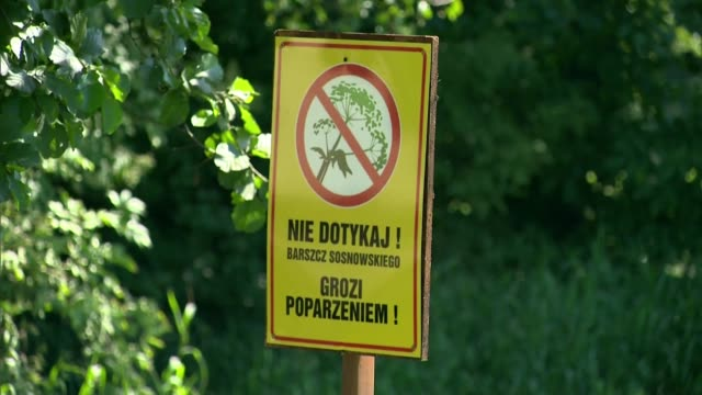 vídeos de stock e filmes b-roll de sosnowsky's hogweed - warning sign - ponto de exclamação
