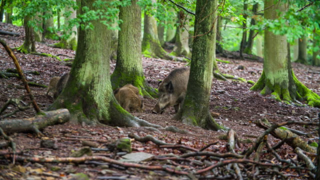 sounder of of wild boars in a forest - boar stock videos & royalty-free footage