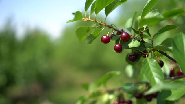 sour cherry tree branch - twig stock videos & royalty-free footage