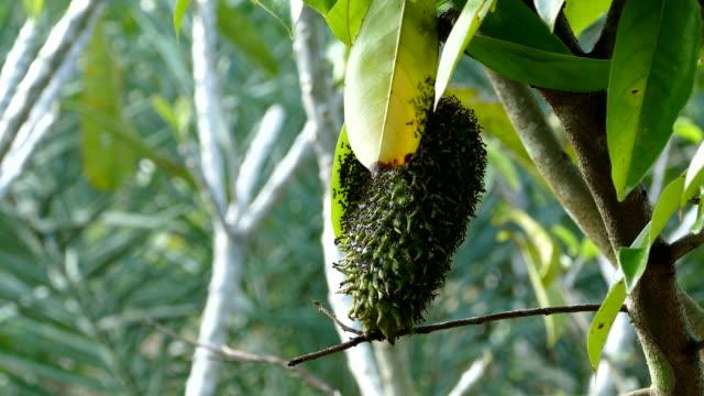 木の上のサワーソップまたはプリックカスタードリンゴの果実 - カスタードクリーム点の映像素材/bロール