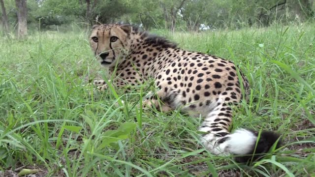 South African authorities are desperately battling the scourge of rampant poaching in an effort to protect endangered species such as the cheetah...