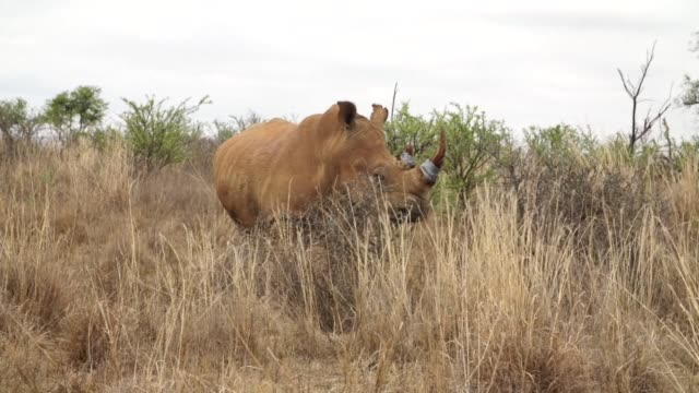 South African conservationists are poisoning rhino horns to make them harmful to humans VOICED Poisoning rhino horns to prevent poaching on November...