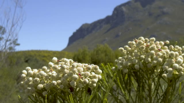 South African Fynbos flowers