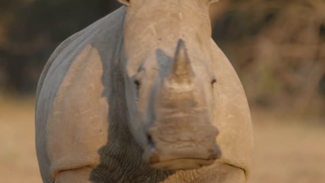 south african scenics and wildlife - rhinoceros stock videos & royalty-free footage