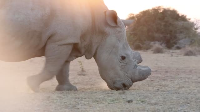 vídeos de stock, filmes e b-roll de south africa's highest court rejects a bid by the government to keep a ban on domestic trade in rhino horn a court document showed - domestic animals