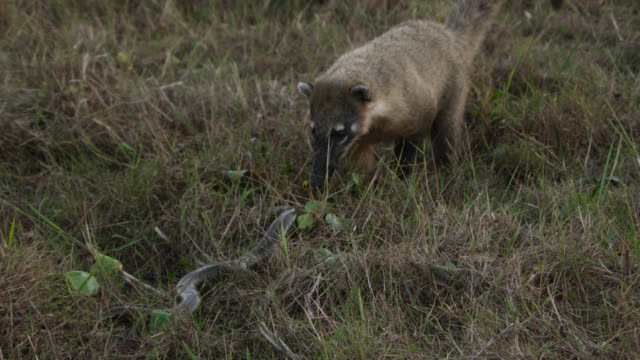 South american coati (Nasua nasua) sniffs at colubrid snake slithering through grass.