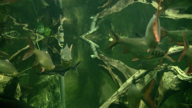 south american fishes in huge aquarium - amazonas state brazil stock videos and b-roll footage