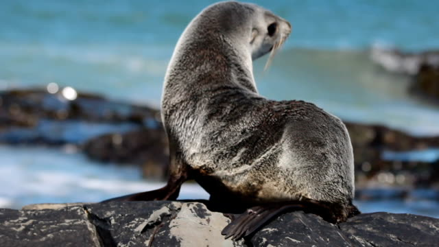 vídeos y material grabado en eventos de stock de south american fur seal by the ocean (arctocephalus australis) falkland islands - foca peluda del cabo
