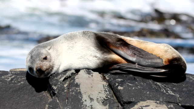 south american fur seal (arctocephalus australis) falkland islands - 50 seconds or greater stock videos & royalty-free footage