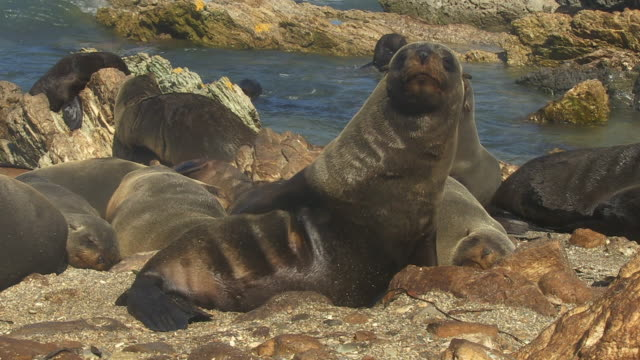 south american fur seal grooms on beach - cape fur seal stock videos & royalty-free footage