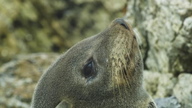 vidéos et rushes de cu south american fur seal looking up and leaning back - otarie à fourrure