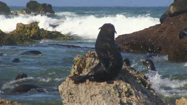 south american fur seal pup grooms on rock with surf in background - seal pup stock videos & royalty-free footage