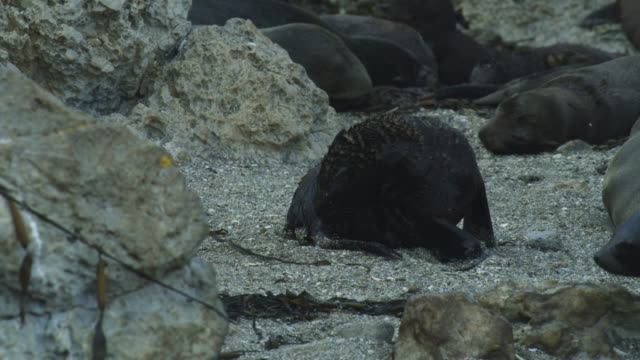 ms pan south american fur seal pup grooms on sand - aquatic mammal stock videos & royalty-free footage