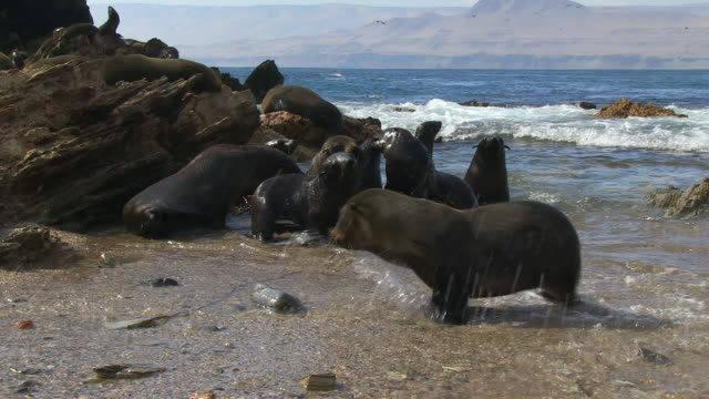 south american fur seal pups play and kiss on beach very close to camera - robbe stock-videos und b-roll-filmmaterial