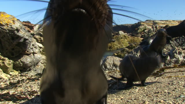 south american fur seal pups play on beach and look into lens with massed birds flying in background - cape fur seal stock videos & royalty-free footage